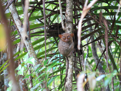 Il tarsier, Bohol, Filippine viaggio con bambini